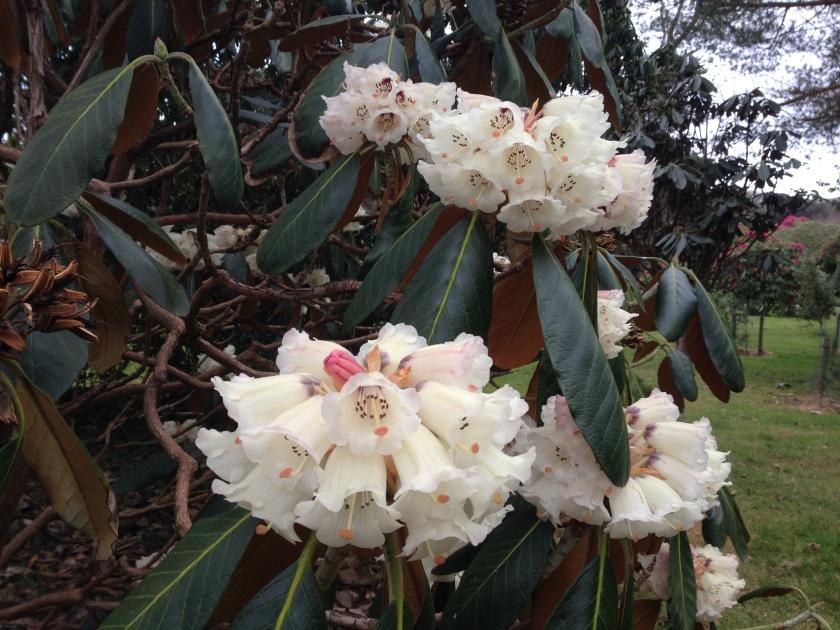 Flowers at Tregothnan gardens, Cornwall